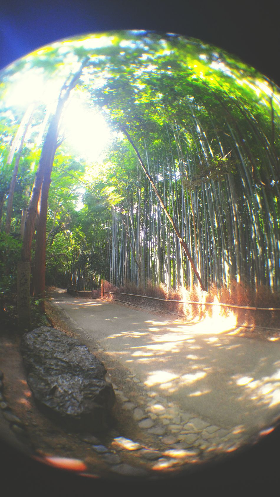 Beauty In Nature Latergram Bamboo From My Point Of View Bamboo Forest Latepost EyeEm Gallery Sunlight Travel Photography Melancholic Landscapes Japan Photography Bamboo Grove Afterlight 京都 EyeEm Best Shots Tranquility LGV10 Fish Eye Fish Eye Lens Fisheye Landscape_Collection Bamboo - Plant Smartphonephotography 嵐山 Being A Tourist