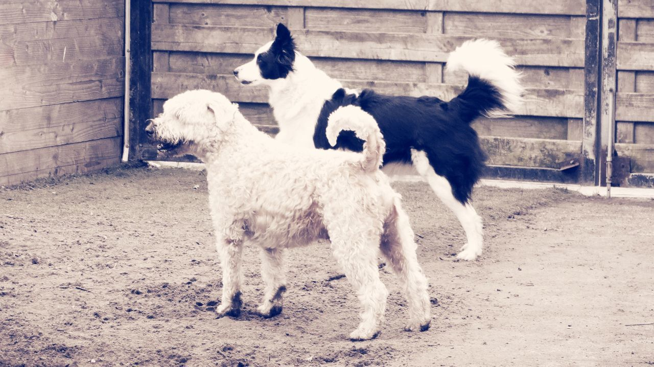 Animal Themes Domestic Animals No People Mammal Dog Outdoors Day Pet Owner Dogs Of EyeEm Lily May Collection Lilymayparker.blogspot.be Border Collie Pets Wheaten Terrier One Animal