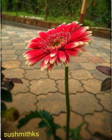 Flower Beauty In Nature Single Flower Pink Garden Photography Nature Myhtc Flower Petal Fragility Flower Head Freshness Close-up Auto Post Production Filter Growth Pink Color Stem Beauty In Nature Single Flower Selective Focus Blossom Pink Botany