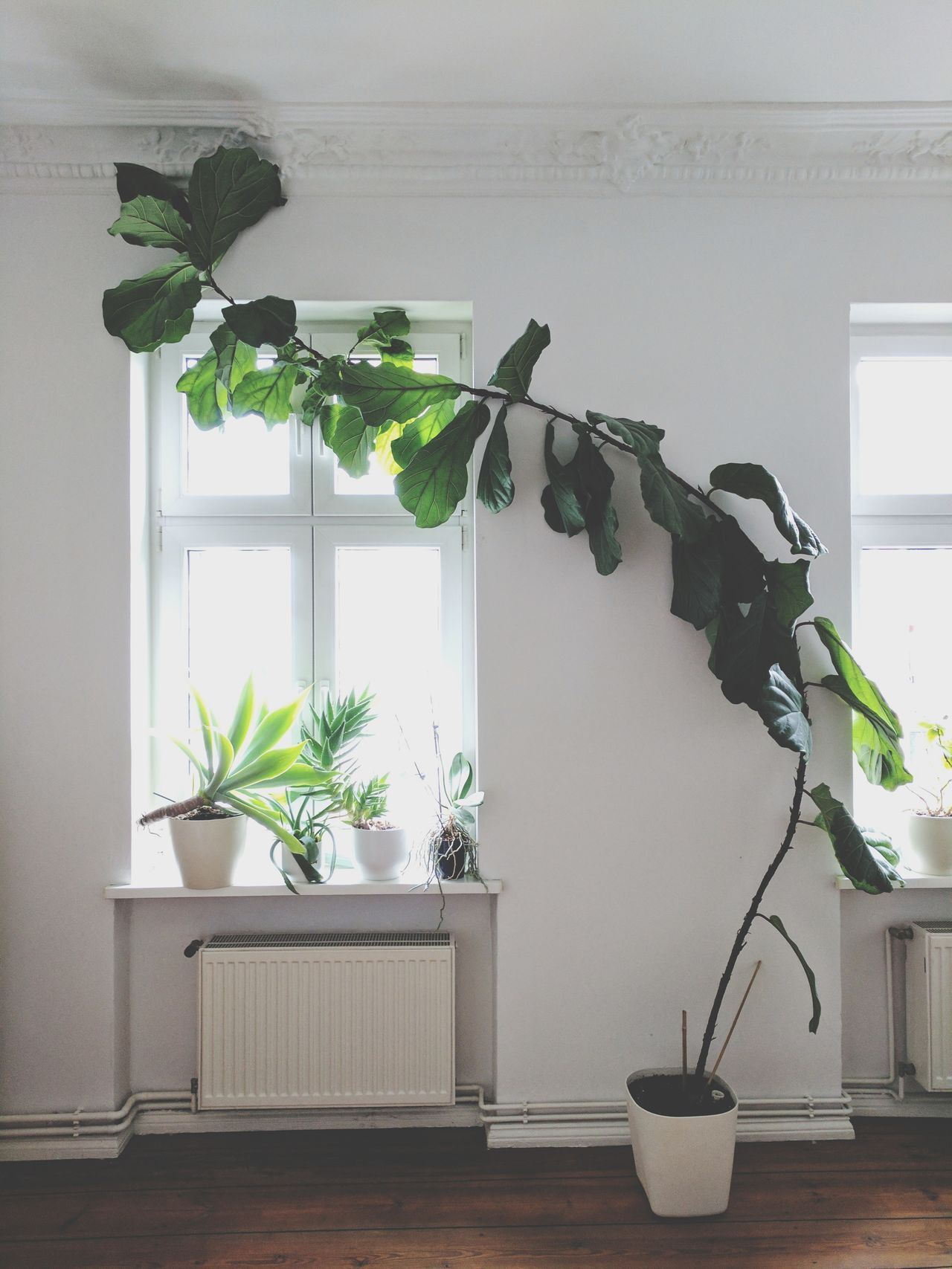 Potted Plant Plant Indoors  Home Interior Window No People Growth Day Living Room Home Showcase Interior Water Nature Tree Greenhouse Freshness Growth