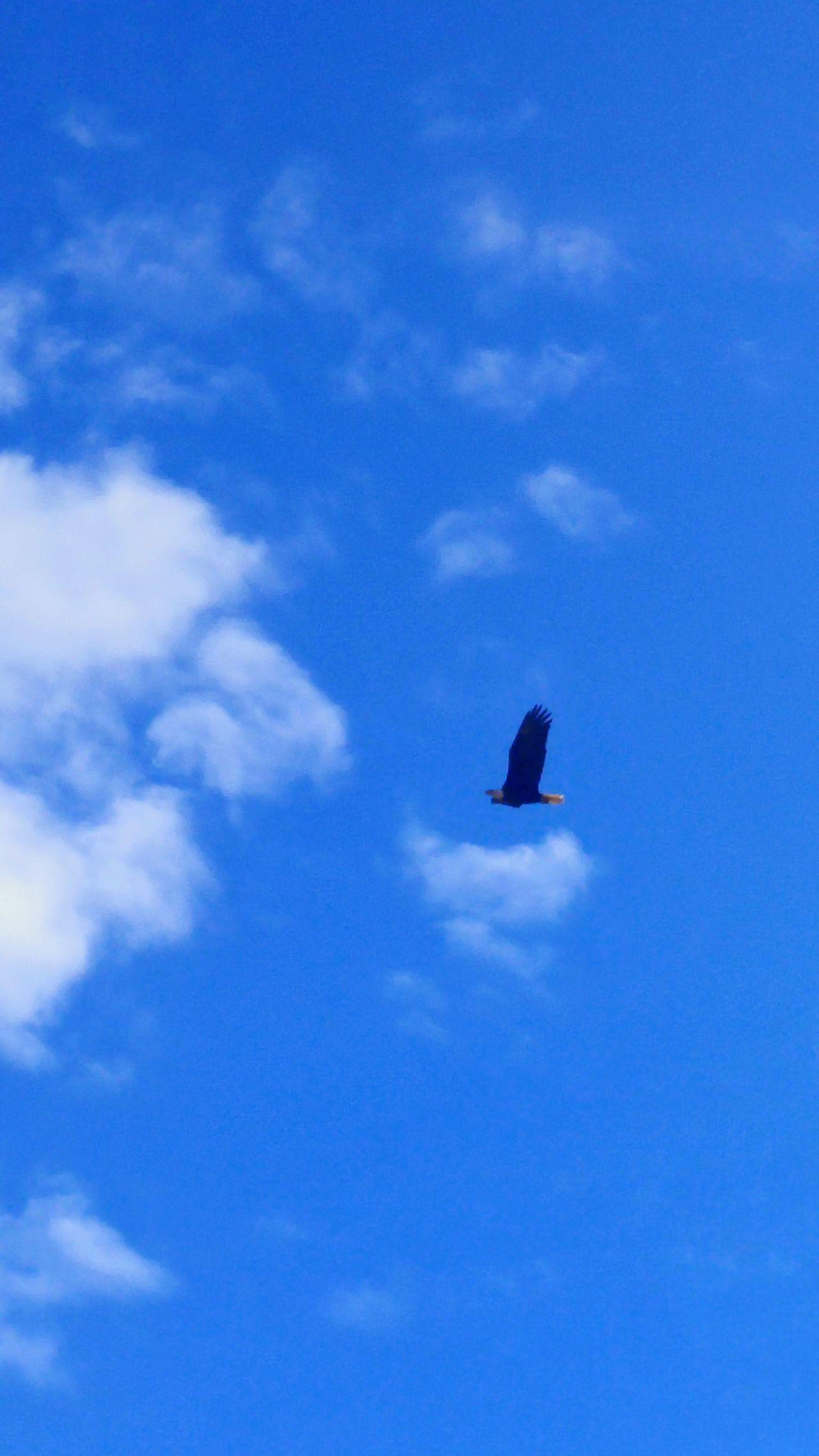 In flight Bald Eagle Bald Eagle In Flight Blue Flying Sky Cloud - Sky No People Nature Central Oregon Bald Eagles EaglesNATION Beauty In Nature