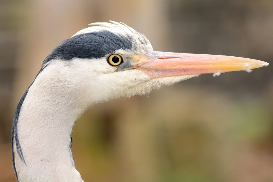 Animal Head  Animal Themes Animal Wildlife Animals In The Wild Beak Beauty In Nature Bird Check This Out Close-up Day Eye4photography  EyeEm Best Shots EyeEm Nature Lover Focus On Foreground Headshot Heron Nature Nature Nature_collection No People One Animal Outdoors Selective Focus Taking Photos Wildlife