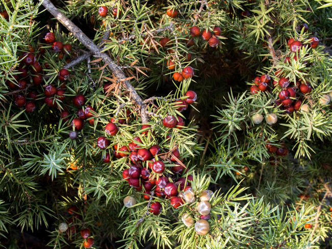 Beauty In Nature Berry Botany Branch Brown Crimea Day Green Green Color High Angle View Juniper Juniperus Large Group Of Objects Leaves Nature Needle Outdoor Outdoors Plant Sevastopol  Springtime Vibrant Color