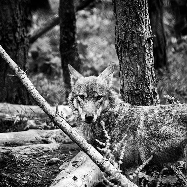 Wolf Watch Wolf Magical Beast Primal Beautiful Black & White Eyes Highland Wildlife Park Scotland Creative Light And Shadow