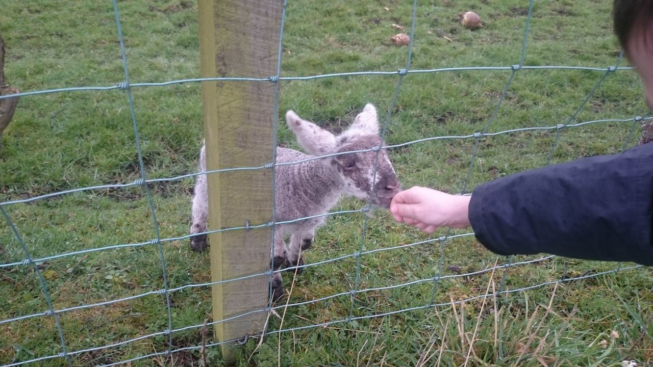 Brand new baby lamb (born today) trying to feed on my sons finger. 2016 Hanging Out Lamb Lambing Season Brand New Suckle Pure Innocence Innocent Northumberland First Eyeem Photo Cheese! Hello World Coquet Valley Showcase April