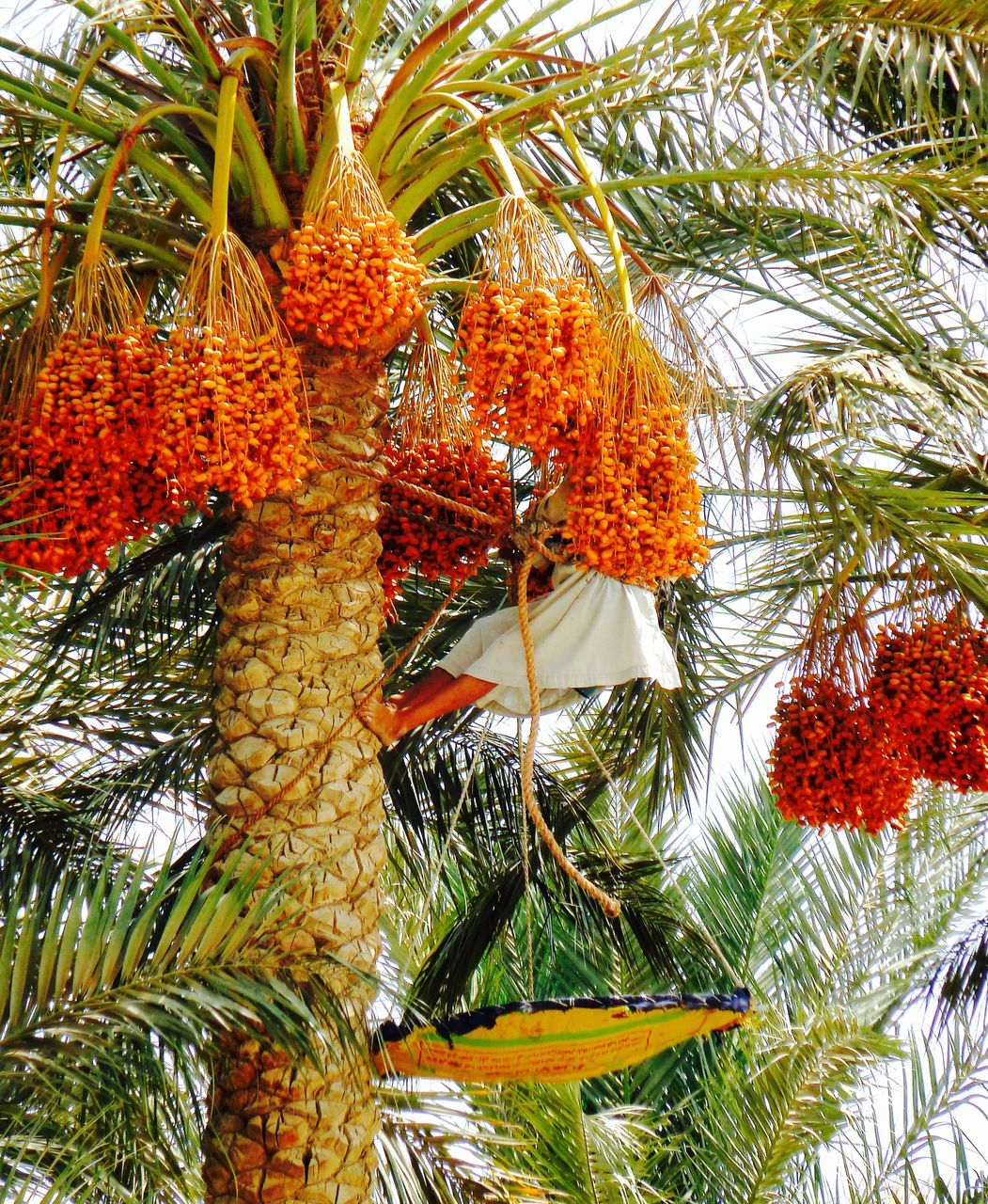 growth, tree, fruit, hanging, no people, food, beauty in nature, nature, food and drink, freshness, palm tree, low angle view, day, healthy eating, flower, outdoors, close-up