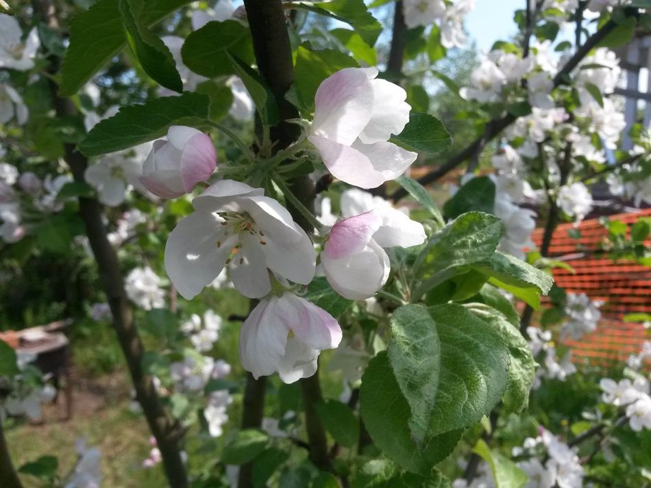 Яблони в цвету Spring Apple Tree
