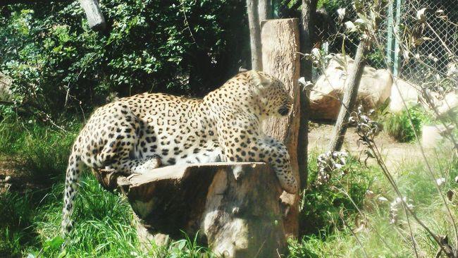 Nature Big Cats Leopard Safari Park Majestic Raw Beauty Formidable Respect