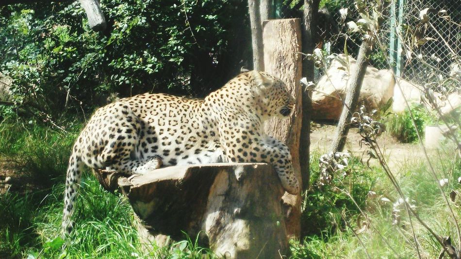 Nature Big Cats Leopard Safari Park Majestic Raw Beauty Formidable Respect