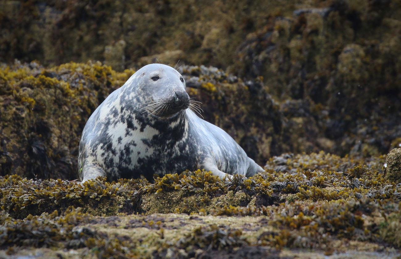 Grey Seal in the Farne Islands Animal Themes Animal Wildlife Animals In The Wild Aquatic Mammal Beach Bird Close-up Day Mammal Nature No People One Animal Outdoors Rock - Object Sea Sea Life