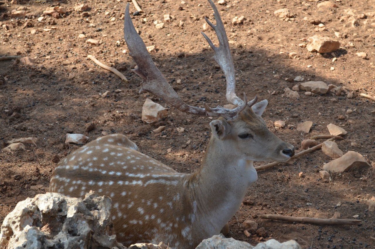 Dibeen Eco reserve, near Jerash Jordan Animal Body Part Animal Connection Animal Love Animal Photography Animal Portrait Eco Gazelle Gazelle Frames Gazelle Horn Mediterranean Forest Rocky Mountains Shadow And Light