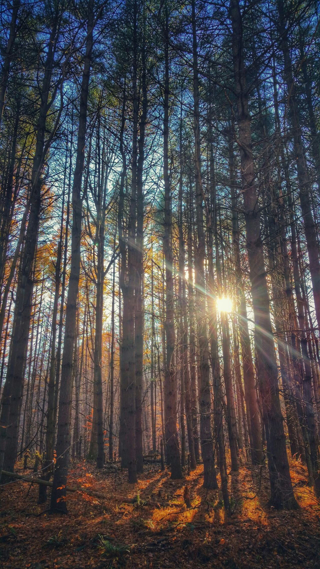 🌲💛🌲 Light Nature Forest Shine EyeEm Best Shots EyeEm Nature Lover Trees From Where I Stand Sunset Soltitude Earth Hiking Go Outside Autumn