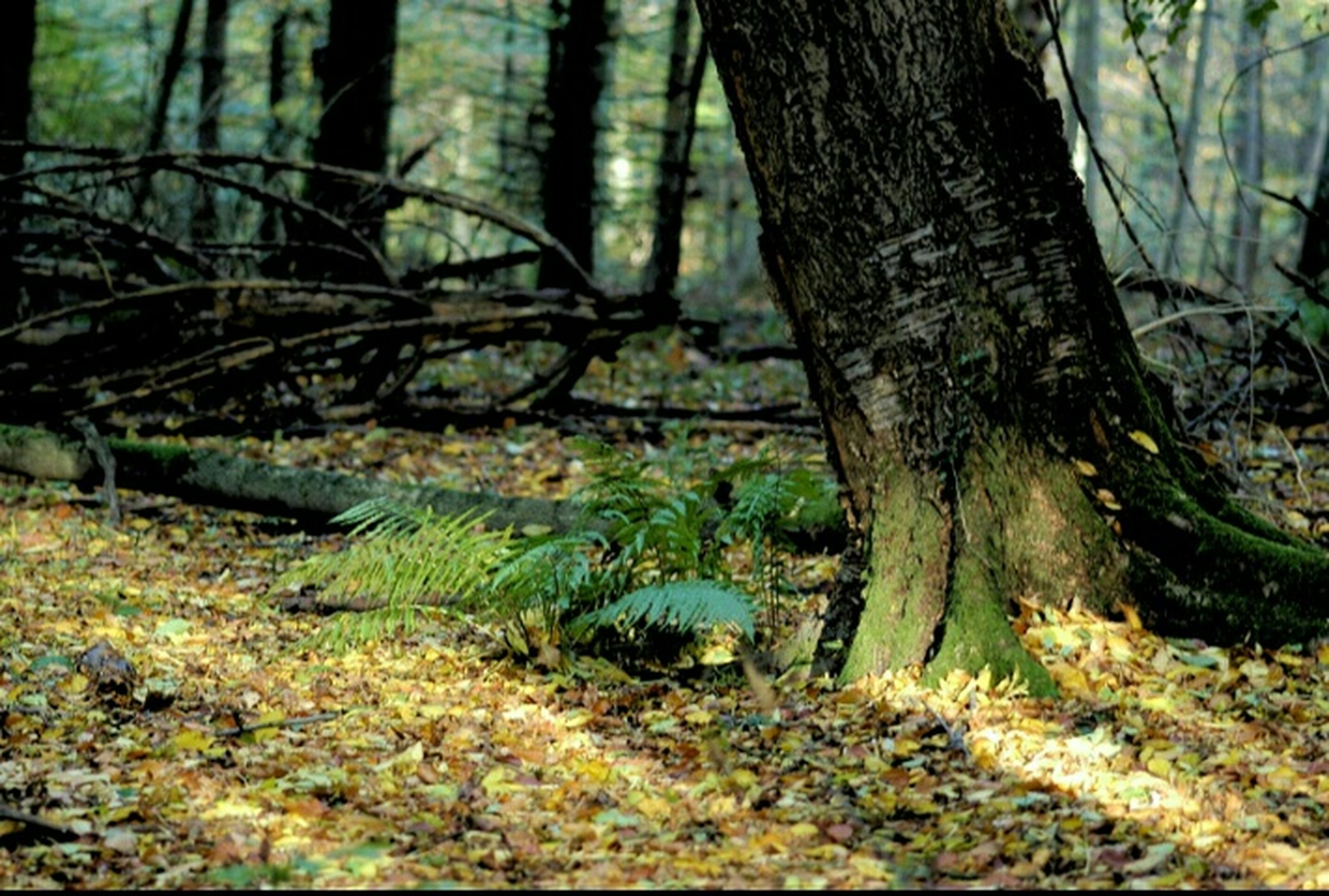tree trunk, forest, tree, tranquility, nature, tranquil scene, growth, woodland, beauty in nature, scenics, stream, branch, non-urban scene, moss, day, landscape, outdoors, no people, plant, grass