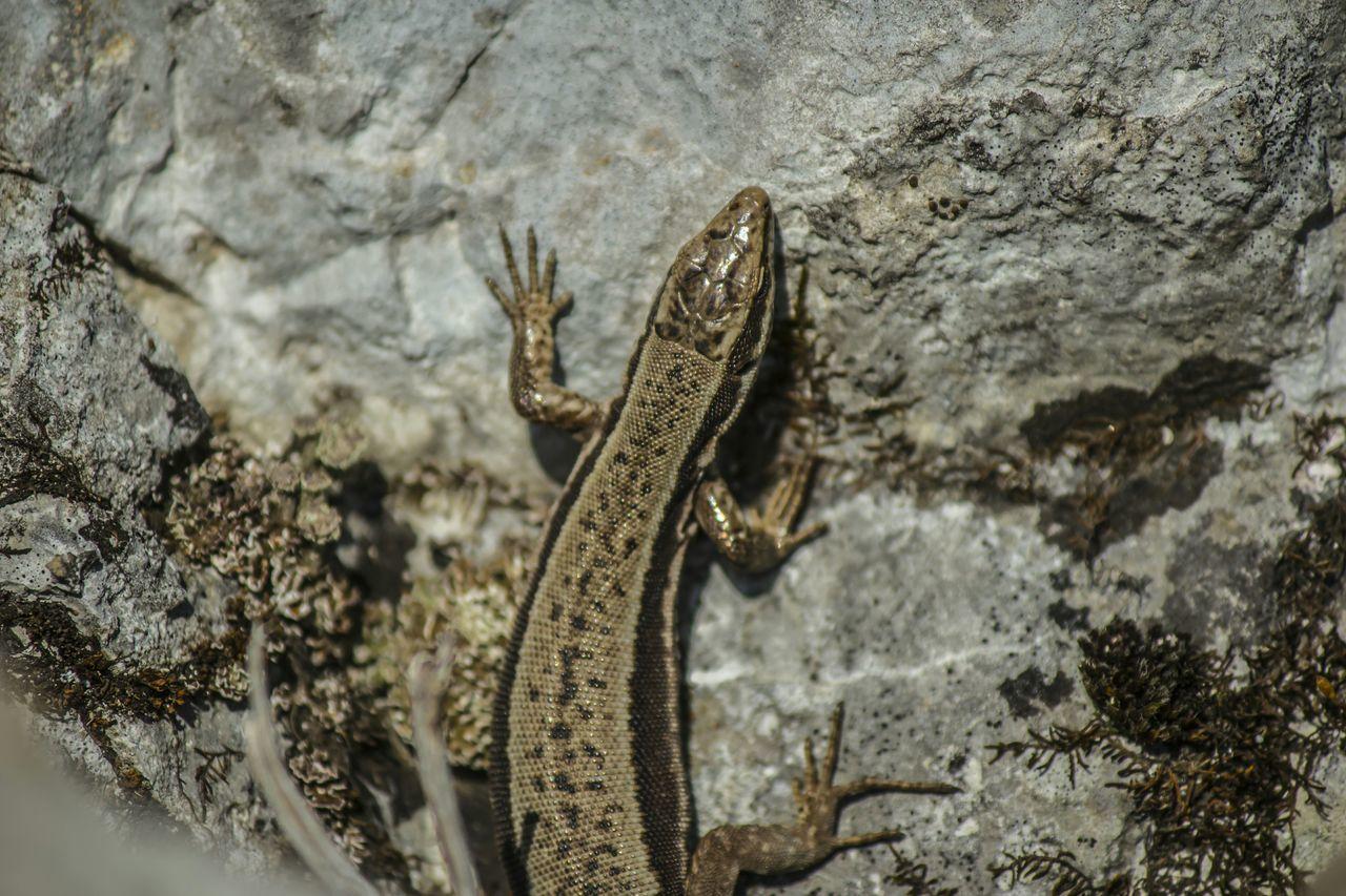 Animal Animals Lizzard Salamander Sunshine Rock