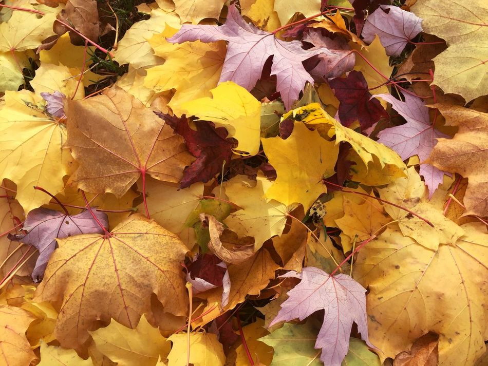 Autumn Leaf Yellow Nature Full Frame No People Leaves Beauty In Nature Outdoors Maple Bunch Of Leaves Upside Down Mix Of Colors Red Leaves On The Ground Maple Leaf Dead Leaves Dead Leaves On The Ground