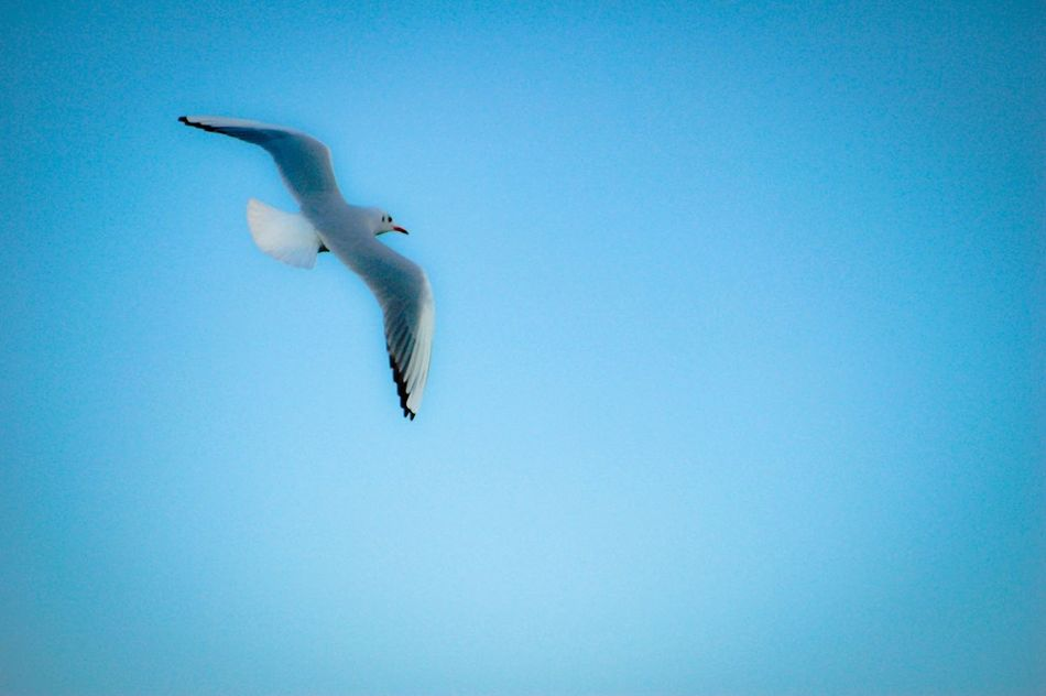 Animals In The Wild One Animal Animal Themes Flying Animal Wildlife Bird Spread Wings Low Angle View Mid-air Clear Sky Copy Space Day No People Outdoors Seagull Nature Full Length Sea Sea Life