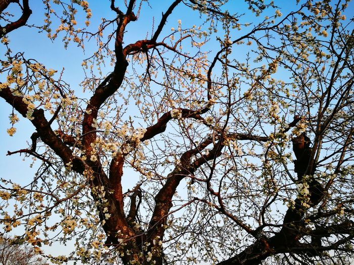 Austria Neusiedler See Neusiedlersee Nature Low Angle View Tree Branch Nature Beauty In Nature Day Growth Sky Outdoors No People Clear Sky Full Frame Backgrounds Scenics Forest Flower Freshness Burgenland Cherry Kirschblüte Kirschen