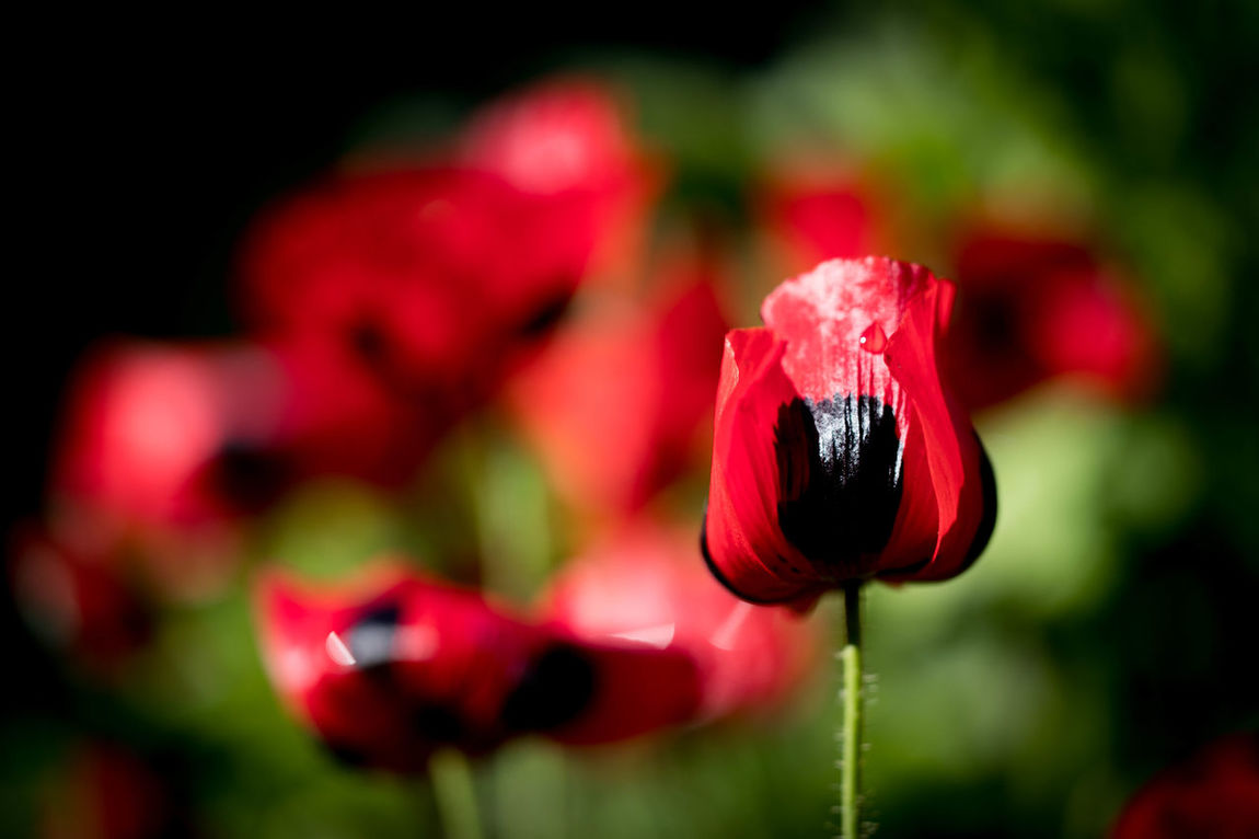Beauty In Nature Black And Red Blackandred Blooming Close-up Day Flower Flower Head Focus On Foreground Fragility Freshness Growth Macro Photography Macroflower Nature No People Outdoors Petal Plant Poppy Red RedFlower Remembrancepoppy