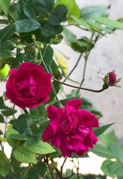 Flower Petal Growth Fragility Beauty In Nature Nature Pink Color Blooming Rose - Flower Freshness Plant Flower Head Close-up Day Red