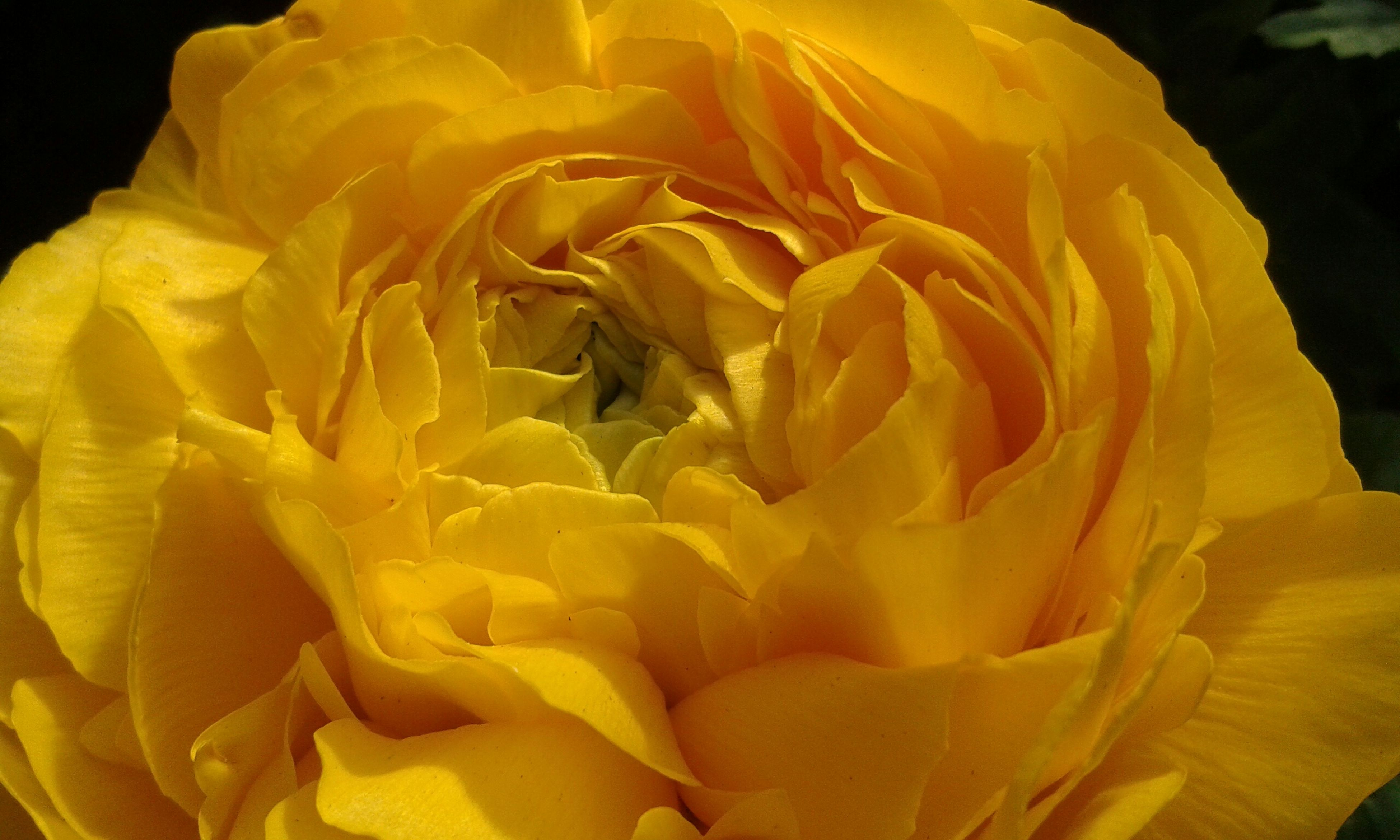flower, petal, flower head, freshness, fragility, yellow, beauty in nature, close-up, rose - flower, growth, single flower, nature, blooming, black background, studio shot, plant, in bloom, natural pattern, blossom, orange color
