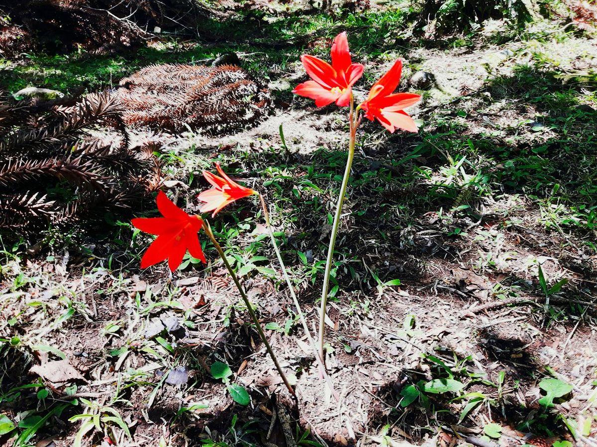 Vermelha Nature Red Flowers Flowers,Plants & Garden Plantas Flores Y Frutos Garden Gramado/RS Exclusive  Flores AndreLima