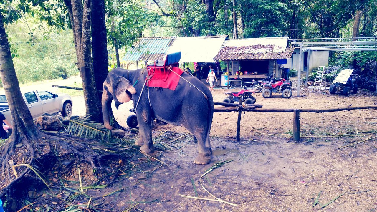 Domestic Animals Tree One Animal Outdoors Nature Day Traveling Tourism Thailand Elephant Elephant Trekking Wildlife Thailand Forest Jungle Phuket