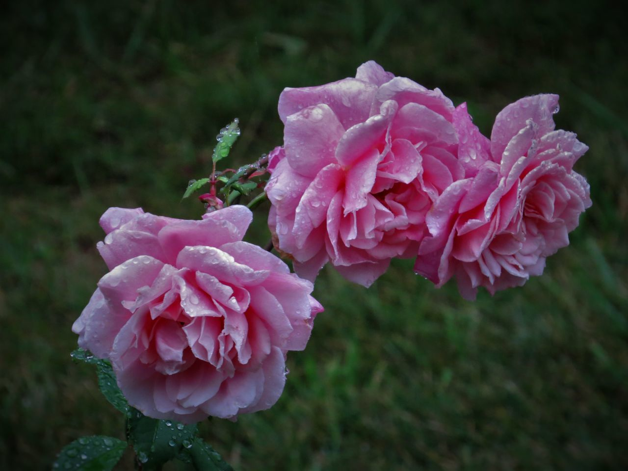 Close-Up Of Wet Pink Roses Growing On Plant