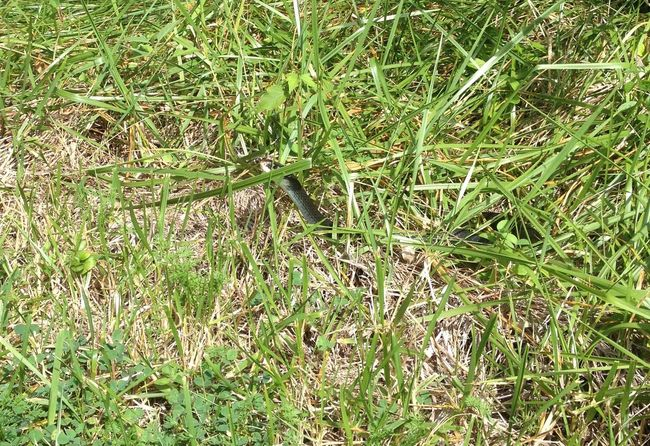 Black Snake Close Up Close-up Directly Above Hiding High Angle View One Animal Peeking Reptile Snake Sunning