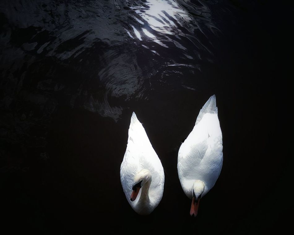 Dark Light Black Background Tranquility Animals In The Wild Wildlife Animal Themes Moody Two Animals Two Birds Swans Two Swans White Birds Birds In Wild Water Birds