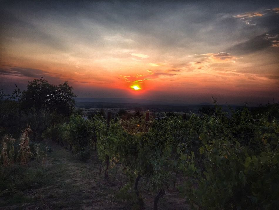 Sunset Grapefield Grapeyard IPhone IPhoneography Nature Nature_collection EyeEm Nature Lover