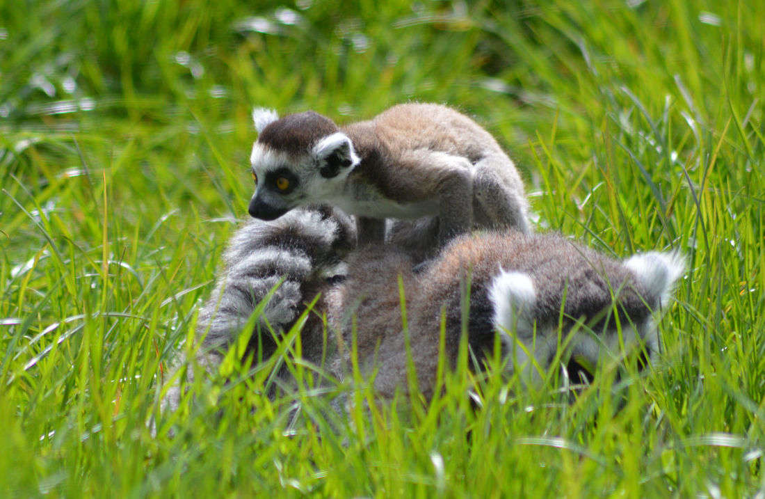 Animal Themes Beauty In Nature Close-up Cute Baby Animals Day Field Focus On Foreground Grass Grassy Green Color Growth Lemur Lemurs Mammal Mother And Baby Mother And Baby Play Nature No People Outdoors Portrait Ring Tailed Lemur Ring Tailed Lemurs Selective Focus Young Animal