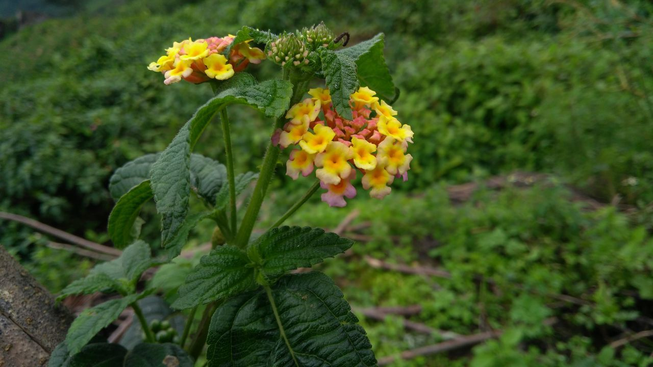 flower, growth, fragility, freshness, beauty in nature, yellow, nature, petal, plant, flower head, green color, outdoors, blooming, day, no people, leaf, lantana camara, close-up
