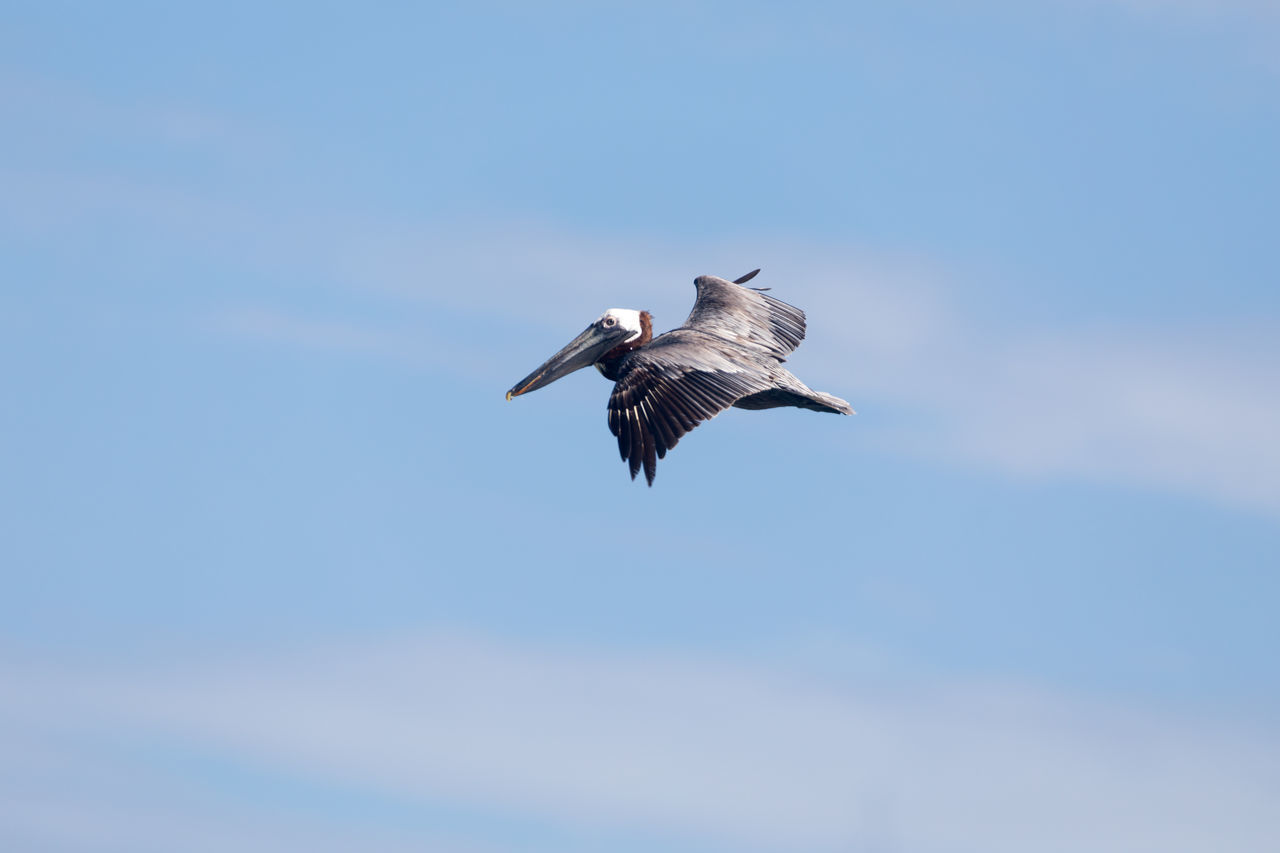 spread wings, flying, bird, animals in the wild, one animal, animal themes, mid-air, animal wildlife, day, low angle view, nature, outdoors, no people, motion, beauty in nature, sky, bird of prey