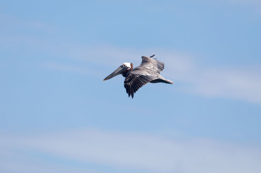 Brown pelican in flight against blue sky Action, Speed, Predator Animal Wildlife Animals In The Wild Bird Blue Blue Sky Clear Sky Day Flying Horizontal Light Clouds Low Angle View Majestic, Brown, Wing No People Outdoors Single Sky Spread Wings