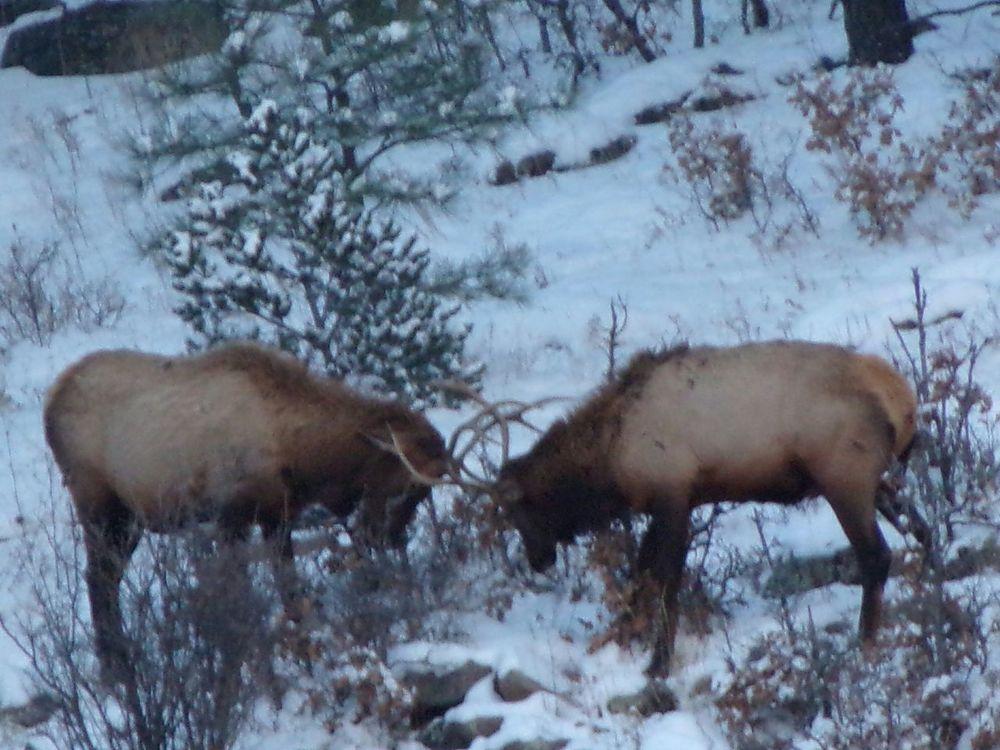 Taking Photos Outdoor Photography Elkhorn Elks Rut Elk