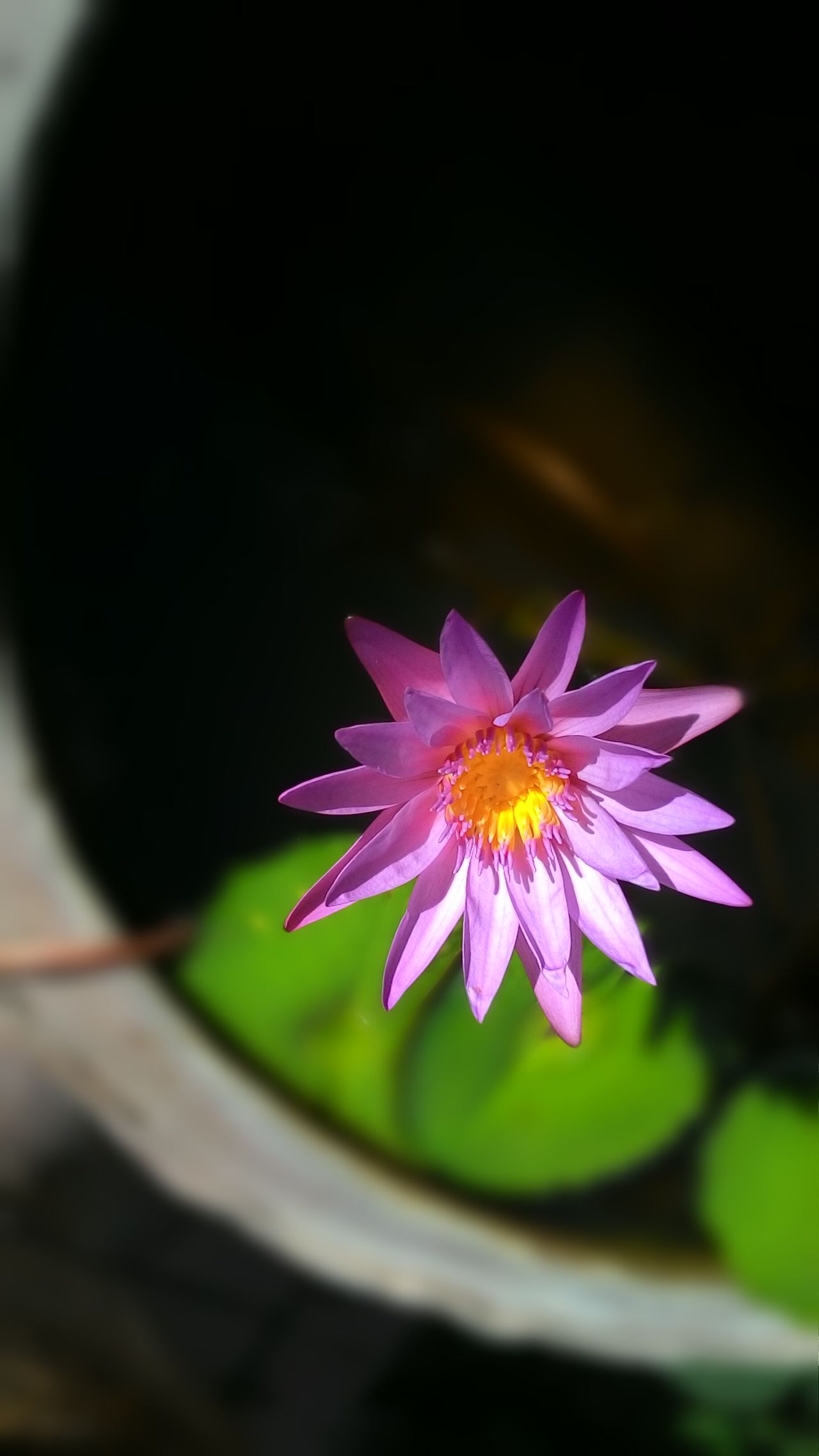 Lotus Lotus Flower Purple Flower Purple Lotus Close-up Flower One Flower Nature Buddha Buddhism Pink Lotus Waterlily
