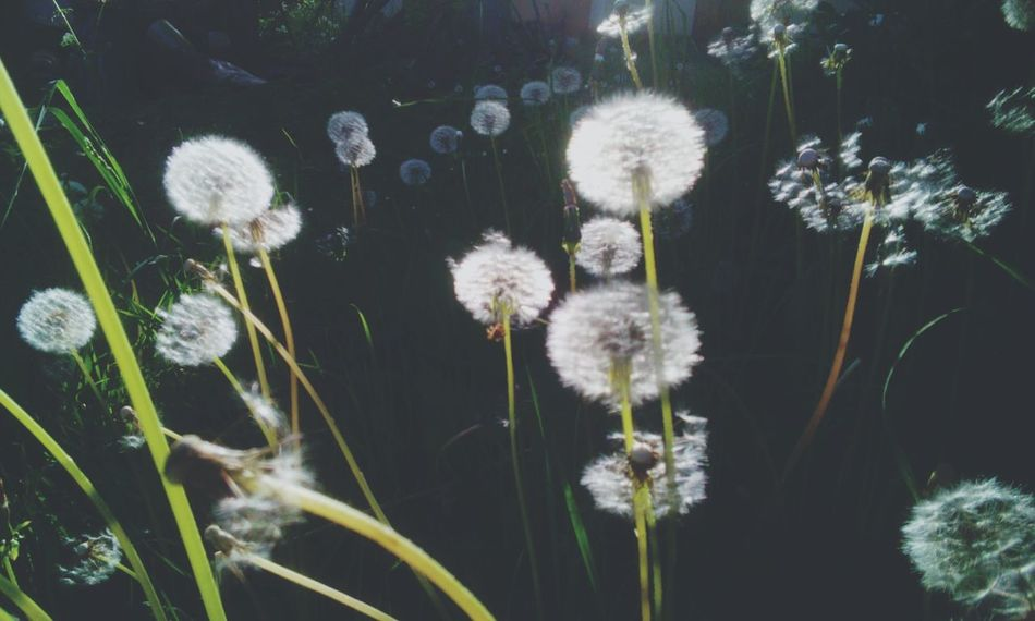 Taking Photos Beautiful Nature The Great Outdoors - 2016 EyeEm Awards Dandelion Seed Head Faded Landscape_Collection NEA Dandelions Glitch