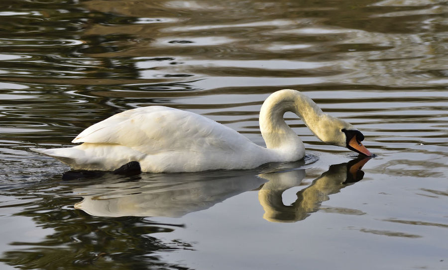 Animal Animal Themes Animals In The Wild Beak Beauty In Nature Bird Bird Photography Birds Of EyeEm  Birds_collection Close-up Cygnus Olor Day Floating On Water Graceful Lake Mute Swan Nature Outdoors Reflection Serene Swan Swimming Water Water Bird