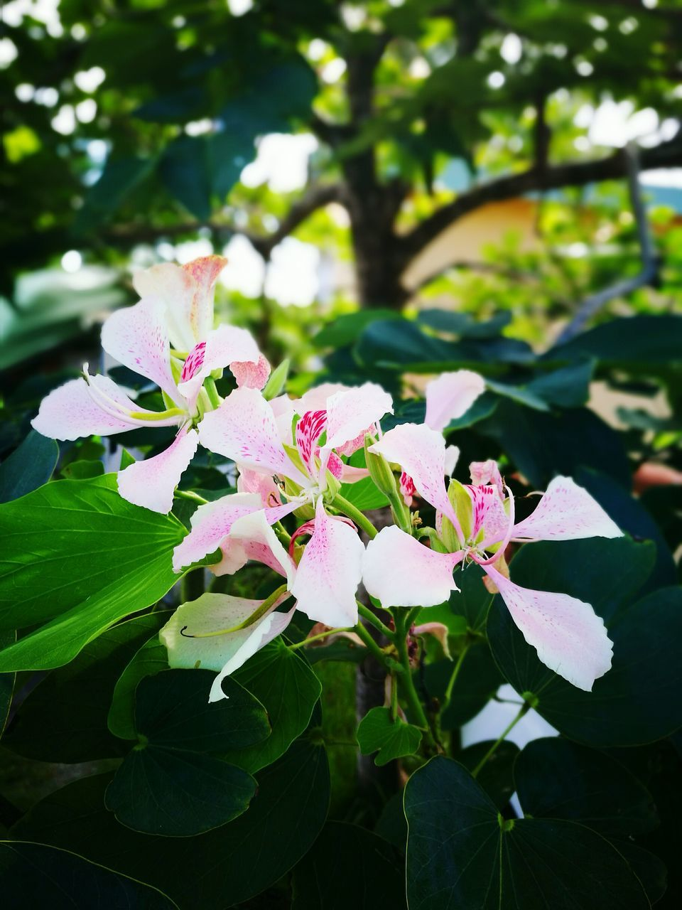 flower, nature, beauty in nature, growth, fragility, petal, leaf, freshness, pink color, day, outdoors, no people, green color, flower head, plant, focus on foreground, close-up, tree, blooming, periwinkle
