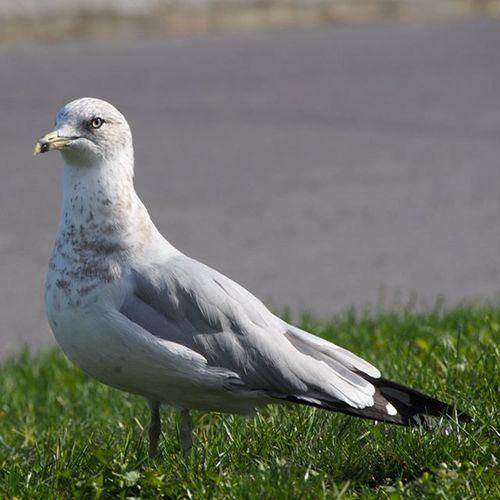 Its Seagull............... Steven Seagull -------------------------------------- Seagull Steveseagull Seagullmonday Wotyoulookingat Montréal Supercereal Catchmygoodside