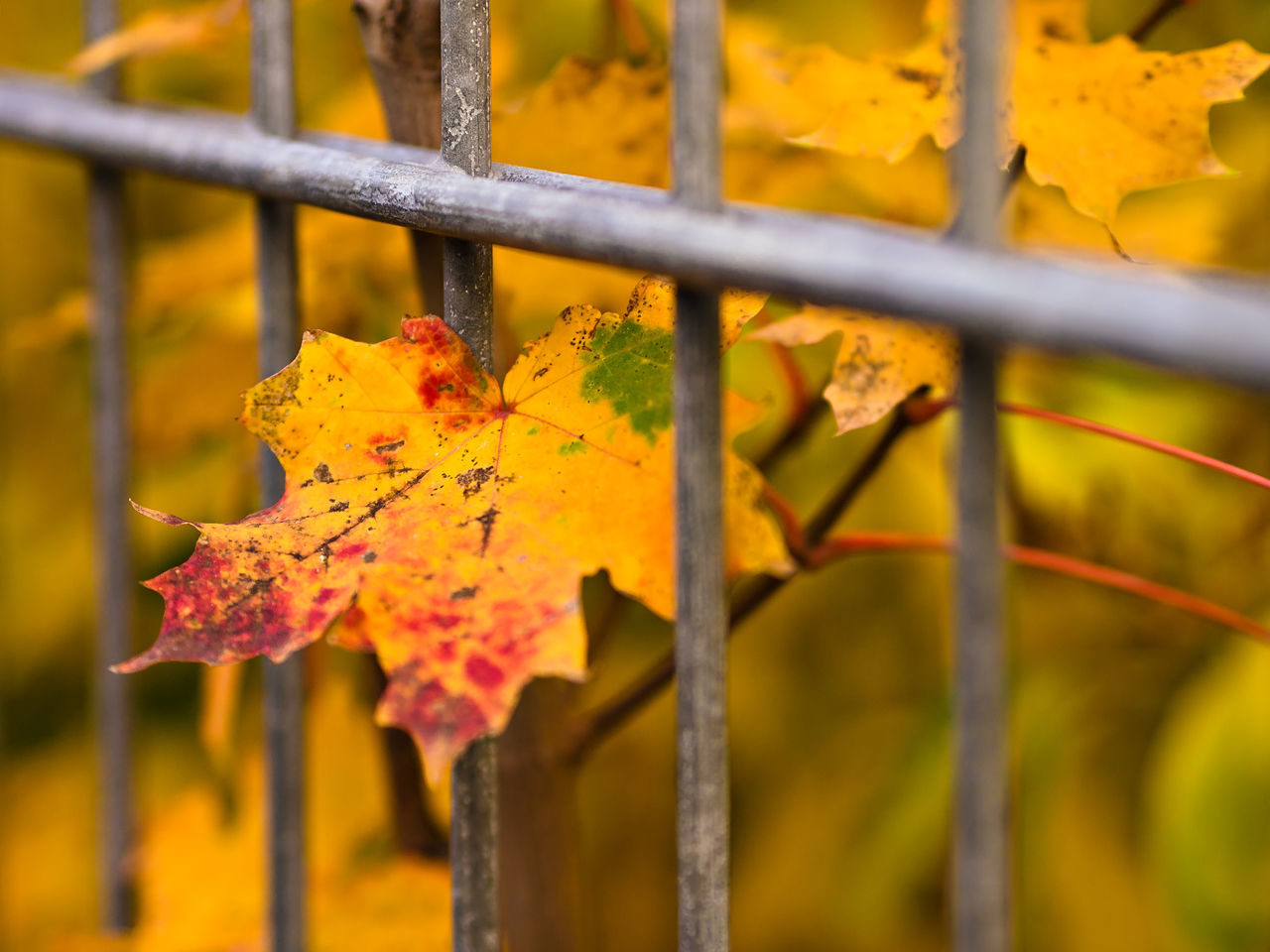 Close-Up Of Autumn Leaf In Fence