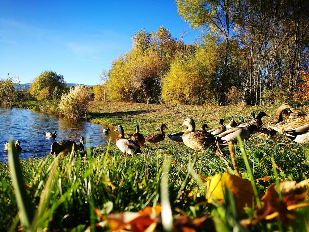 Ducks Beauty In Nature Nature Outdoors No People Saillagouse