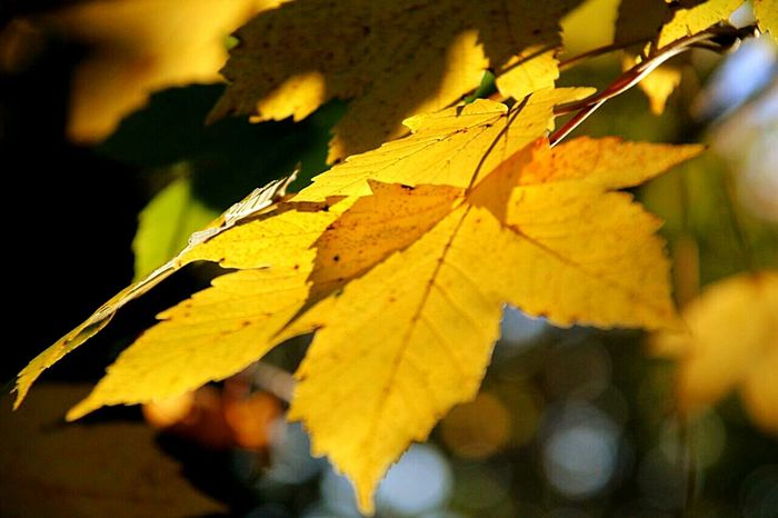 foglie Leaf Change Autumn Nature Close-up Maple Leaf Sunlight Outdoors Leaves No People Beauty In Nature Day Tree Walking Around Taking Pictures Mourning Dove Outdoor Photography Walking Around Outside Lovefreetime Outdoor Pictures Green Nature Photo Shoot Beauty In Nature Plant Nature
