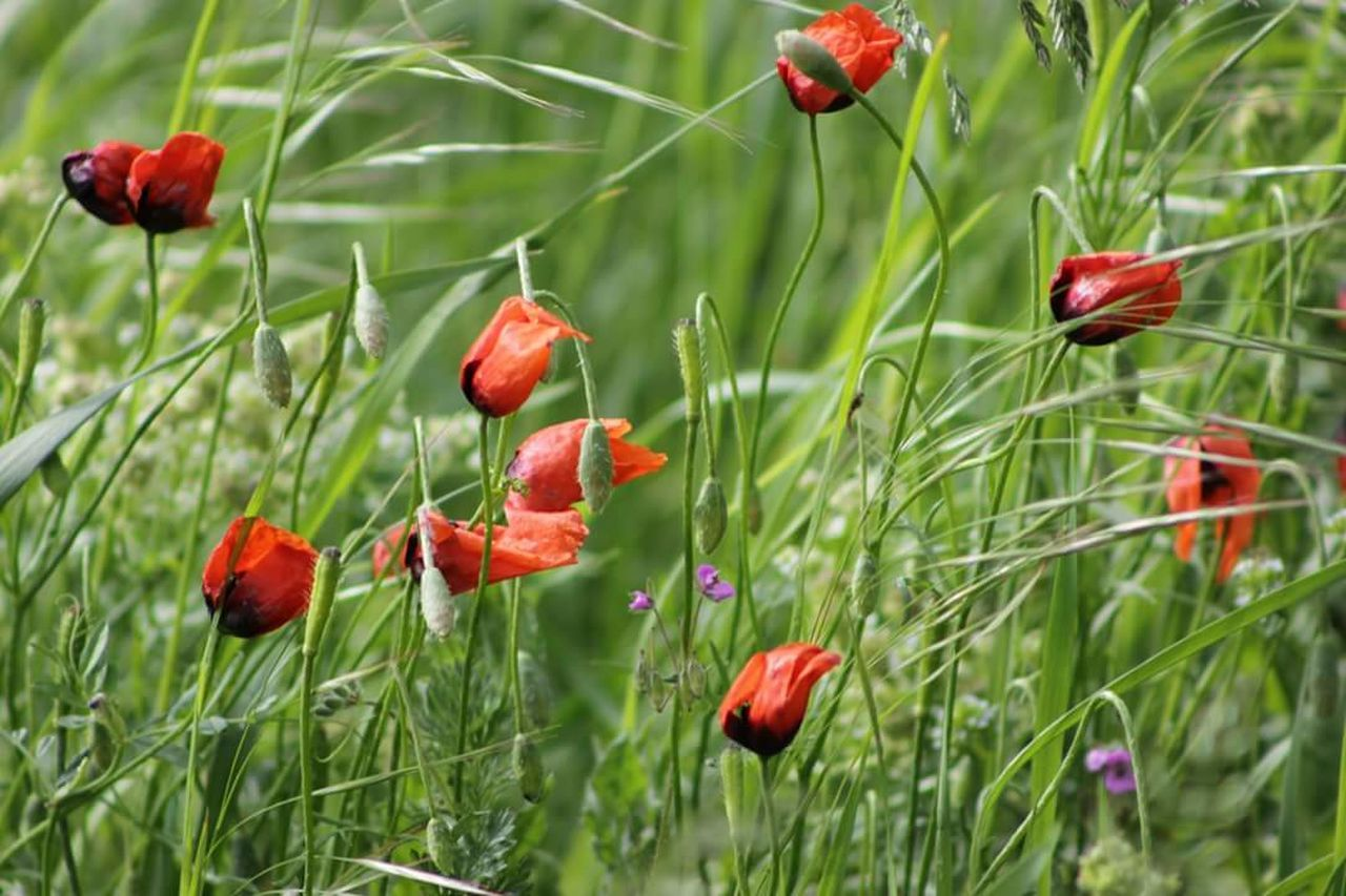 red, growth, poppy, flower, nature, plant, beauty in nature, field, outdoors, no people, day, freshness, green color, grass, tranquility, close-up, blooming, fragility, flower head