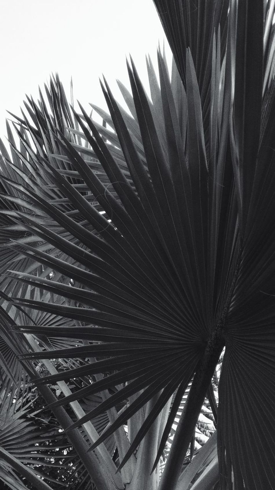 Anahaw Growth Nature Day Sky Tranquility Scenics Growth Beauty In Nature EyeemPhilippines Lines And Patterns Eyeem Philippines Black And White Collection  Black & White Photography EyeEm Travel Photography Nature Tree Geometric Architecture