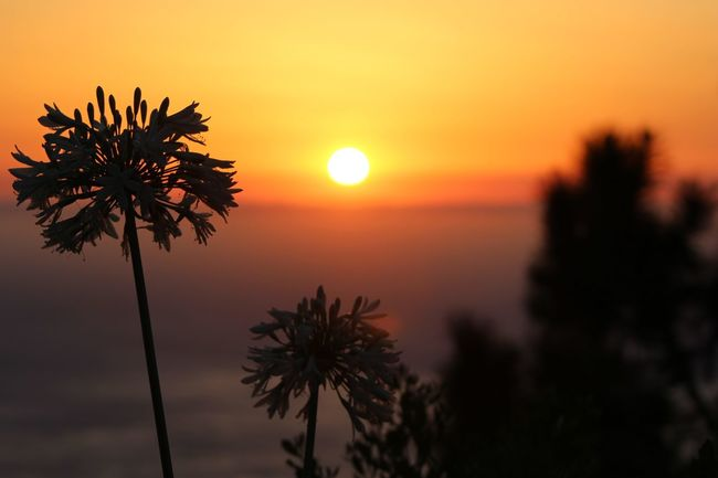 Sunset Sun Silhouette Beauty In Nature Scenics Orange Color Tree Tranquil Scene Nature Horizon Over Water Agapanthus Idyllic Sea Sunset_captures Non-urban Scene Outdoors Tranquility Sunset And Clouds  Non-urban Scene Flower Silhouette Focus On Foreground Sky Sunset Silhouettes No People