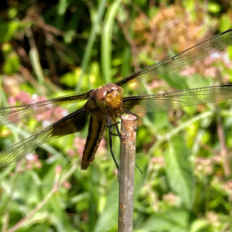Dragonfly Skimmer Insect Insect Photography Macro Macro Photography Macro Nature