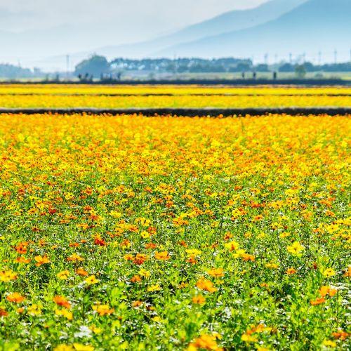 後山、風光 Hualien, Taiwan 雲山水 Flower Field Beauty In Nature