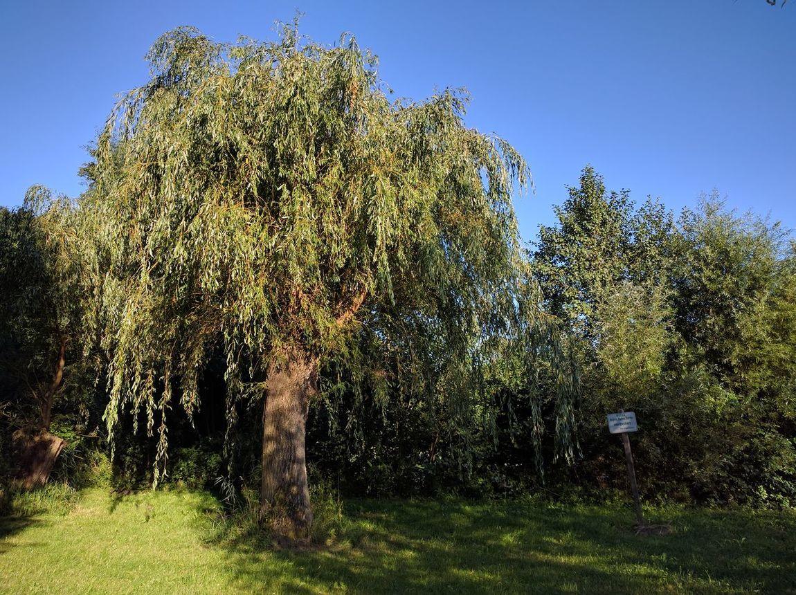 Blue Sky Clear Sky Green Growth Light Light And Shadow Nature Nexus6P Summer Tree