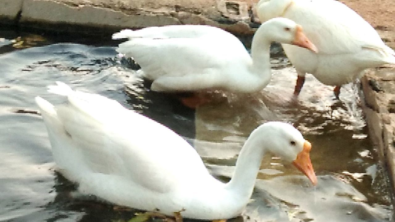 Animal Themes Swans Swimming Water Water Bird Outdoors Nature Birds Lover Bird Photography Birds Of EyeEm  My Smartphone Life Eye Em Nature Lover EyeEm Gallery Mobile Photography IMography EyeEm Incredible India Something I Like Love All My Followers With Love From India💚 truly..urs.. Nitin